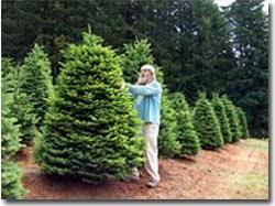 Tagging A Premium Grade Noble Fir Christmas Tree