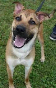 Do Shar Pei Lab Mix Shed by All About The German Shepherd Lab Mix A K A The Sheprador