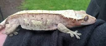 Crested Gecko Shedding Help by Crested Gecko Shedding Help 9 Images Resources Tails