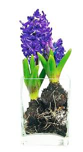 hyacinth bouquet plant up a pot now and you can some