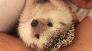 What Heat Lamp To Use For Hedgehogs by It U0027s A Hard Hedgehog Life Faq
