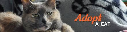 adopt a cat adopt a cat animal protective foundation