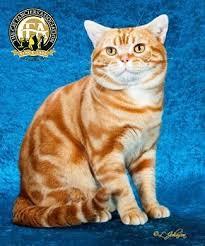 shorthair cat price breed profile the american shorthair