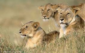 Conservationists Want Lions To Be Put On The List Of Most Endangered Species Give Them
