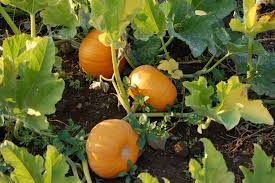 Pumpkin Patch Reno by Pumpkin Patch Independence Oregon