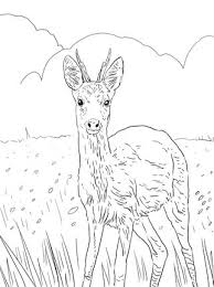 Click To See Printable Version Of European Roe Deer Coloring Page