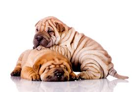 Do Shar Peis Shed Hair by Chinese Shar Pei Puppies For Sale Akc Puppyfinder