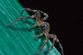 Remains Of The Day Spiders by Crazed Spiders The Size Of Mice Have Been Lying In Wait All