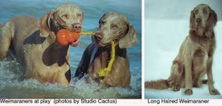 Do Long Haired Weimaraners Shed by Is This The Dog For Me Weimaraner And Labmaraner Dog Painter U0027s Blog