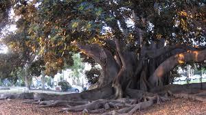 Balboa Park Halloween Night by Balboa Park U0027s Moreton Bay Fig U2014 How To Keep The Love San Diego