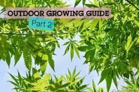 cultiver le cannabis à l extérieur rqs