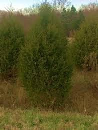 Cedar Tree In Land Between The Lakes