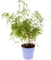 culture bambou en pot comment planter un bambou fargesia conseils bambous leaderplant
