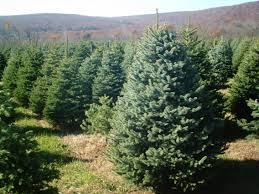 Eustis Christmas Tree Farm by Awesome Picture Of Christmas Tree Farms Knoxville Tn Fabulous