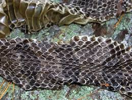 identifying snakes by their shed skins steemit