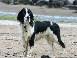 Field Springer Spaniel Shedding by English Springer Spaniel Breed Guide Learn About The English