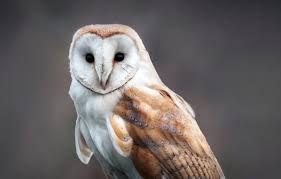 Barn Owl - Lehigh Valley Zoo Where To See Barn Owls In The Uk Barn Owl Vs Peregrine Falcon Greylag Goose Super Powered Owls Black Hills Audubon Society Burts Birds Sept 2017 Vancouver Struggling Adapt As City Grows Study 47 Owl Hd Wallpapers Backgrounds Wallpaper Abyss Teton Raptor Center Heyitsbarnowl Twitter Tyto Alba Species Owlingcom Field Guide Turtle Bay Not Just A Pretty Face The Facial Ruff Of And Sound