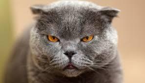 bobtail cat american bobtail cat breed profile