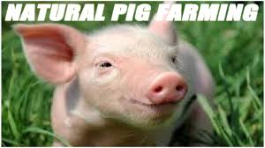 Natural Pig Farming For Beginner Farmers - YouTube Pin By Pat Wozniak On Pork Pinterest Business Planning Afc Pig Farm Ecomavrovic How To Raise Pastured Pigs Without Buying Feed Httpwww Tammi Jonas Food Ethics Farming Plan Sample Dsc Raising Pros Cons The Prairie Homestead Figueroa Breeding Gguinto Bulacan Youtube Gloucestershire Old Spot Pigs And That Farm There Was To Make Your Own Pig Feed The Organic Farmer Heaven What Makes Free Range Different Downtoearth 54 Best Images Farming Backyard In Nigeria Detail Post Practical Traing Its Time Front Yard Farmer