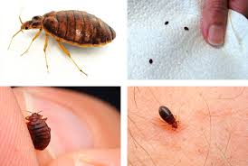 The Truth About Bed Bugs Essential Facts Everyone Should Know