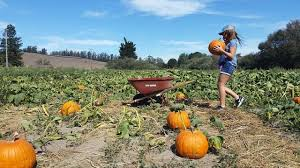 Pumpkin Patch Santa Rosa by Pumpkin Patches Marin Mommies