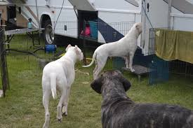 Guard Dogs That Dont Shed by Dogo Argentino Temperament U0026 Personality