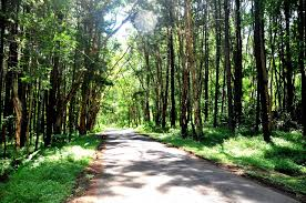 Hutan Pinus Imogiri Jogja Dlingo Mangunan Bantul HTM Gratis