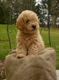Non Shedding Small Dogs Australia by Ontario Australian Labradoodle Puppies Dogs For Sale Mini