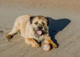 border terriers useful information and resources on border terriers
