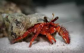 Do Hermit Crabs Shed Shell by How To Tell If A Hermit Crab Is Molting What Does It Look Like