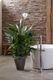 badezimmerpflanzen für den mai badezimmerpflanzen