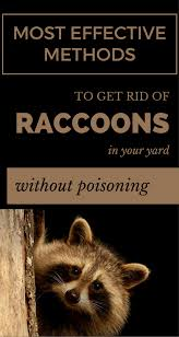 Most Effective Methods To Get Rid Of Raccoons In Your Yard Without ... Service Wildlife Command Center Mo How To Get Rid Of Raccoons Youtube With A Motion Activated Sprinkler My To Of Raccoons Video Roof Pool Attic Yard 42 Best Raccoon Pictures Images On Pinterest Wild Animals Search For A Home Removal Homes All City Animal Trapping November 2010 Tearing Up Your Yard Theyre After The Grubs 3 Easy Ways Wikihow In Warning Signs Solutions Problems Precise Termite Baylcariasis The Tragic Parasitic Implications In