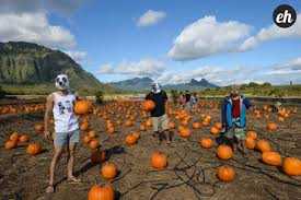 Pumpkin Patch Massachusetts by Pumpkin Picking And Kid Creeping At The Faux Waimanalo Country