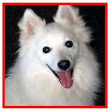 74 best spitz dogs images on pinterest spitz dogs american