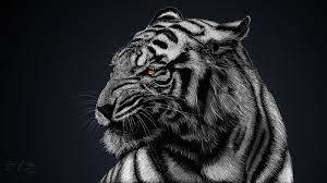 234 White Tiger HD Wallpapers