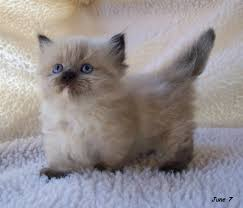 munchkins cats adorable munchkin kittens meow
