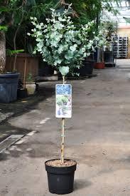 eukalyptus azura blaugummibaum stämmchen winterharte