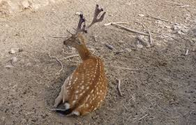 Deer Antler Shedding Cycle by Deer Antler Shedding Cycle 28 Images Why Deer Antlers What Are