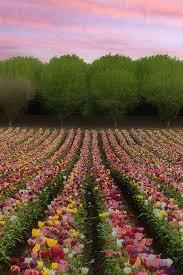 361 best flower fields images on Pinterest