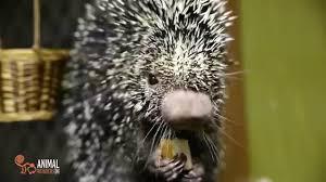 Porcupine Eats Pumpkin by Porcupine Gifs Find U0026 Share Tenor