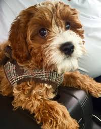 Non Shedding Dog Breeds Small by Cavapoos Cavapoo Puppies For Sale Tennessee Puppy Dogs Tn