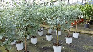 eucalyptus gunni stamm eukalyptusbaum 70 90 cm pflanze winterhart