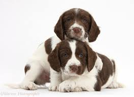 Field Springer Spaniel Shedding by Working English Springer Spaniel Puppies Happiest Things