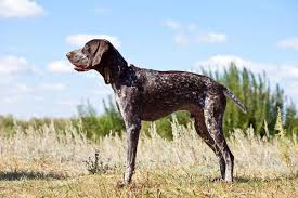 German Wirehaired Pointer Shedding by German Shorthaired Pointer German Shorthaired Pointer Pet