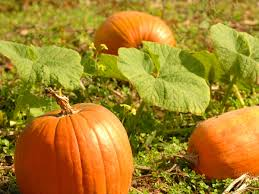 Fertilizer For Giant Pumpkins by Here U0027s How To Grow Your Own Pumpkin Southern Living