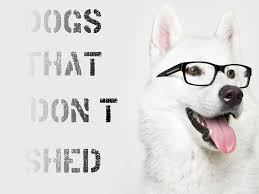 Large Dog Breeds That Dont Shed by Dogs That Don U0027t Shed Youtube