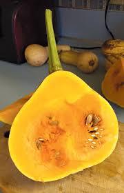 Pumpkin Patch Near Tallahassee Fl by The Incredible Seminole Pumpkin Edible Cape Cod