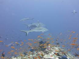 100 Rasdhoo Atoll Maldives Scuba Diving With Dive Centre On Island