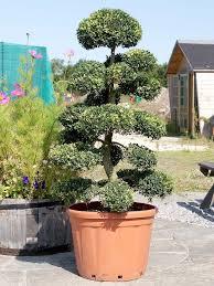Becks Christmas Tree Farm Hartwell by 77 Best Plant Sculpting Images On Pinterest Gardens Backyard