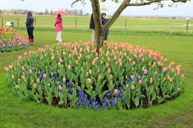 plant tulip bulbs now for color ehow home ehow